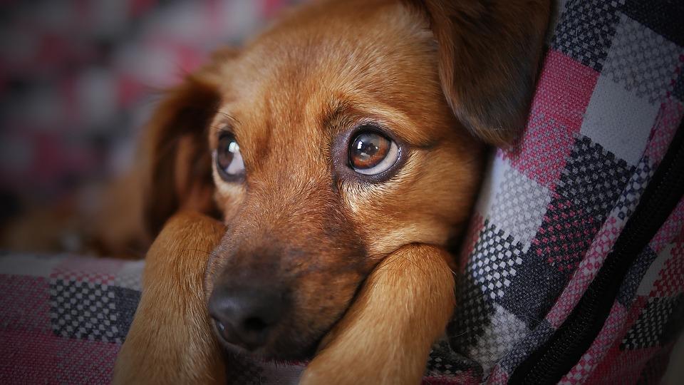 Vermifuge pour chien